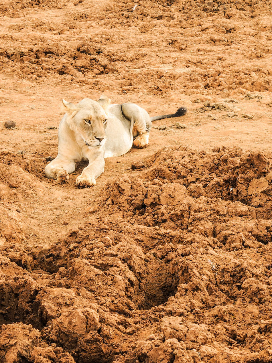 Africa Animal Animal Themes Animals In The Wild Day High Angle View Kenya Landscape Lino Kin Lion Lion - Feline Lion Cub Lion King  Lions Mammal Nature Nature No People One Animal Outdoors Red Earth Safari Wildlife