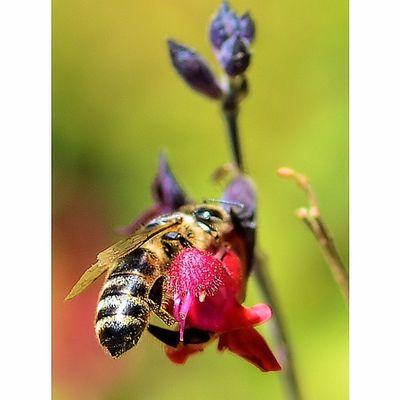 Go pollinator go Bees Wasp Bugslife Nature Insect Exposure Outdoor Flowerstalking Capture Fotographia NatureIsBeautiful Rsa_macro Tv_dof Nature Flowers Summer Nature Details Macro Macroworld Macroworld_tr Macro_freaks Macrophotography Picture Beeporn