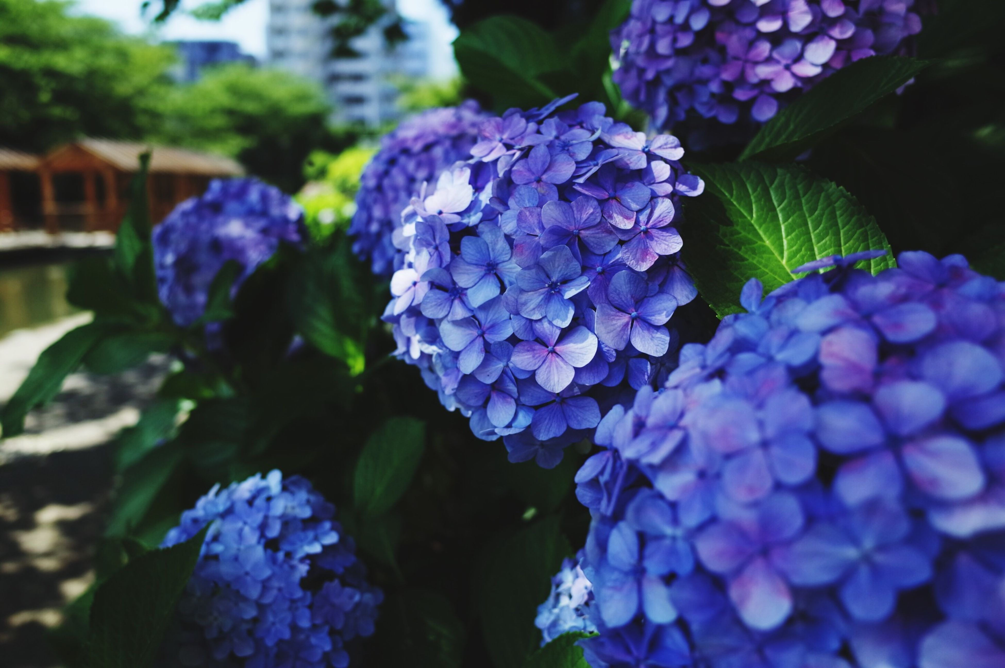 flower, purple, freshness, fragility, petal, growth, beauty in nature, flower head, plant, close-up, blooming, hydrangea, nature, focus on foreground, in bloom, leaf, blue, park - man made space, outdoors, bunch of flowers