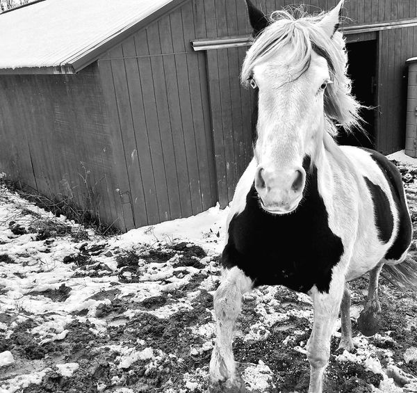 Livestock Domestic Animals Close-up Horse Pets 3XSPhotographyUnity Animal Themes Black & White 3XSPUnity Farm Life Horse Running Black&white Pet Portraits Country Life Barns Winter Horses Running