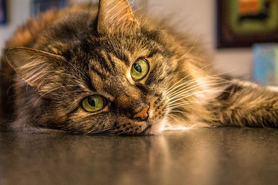 Miss Sophie Domestic Cat Pets Domestic Animals Mammal Looking At Camera Animal Themes Feline Whisker Indoors  Portrait One Animal Home Interior No People Lying Down Close-up Yellow Eyes Cute Cute Pets Cat Cat♡