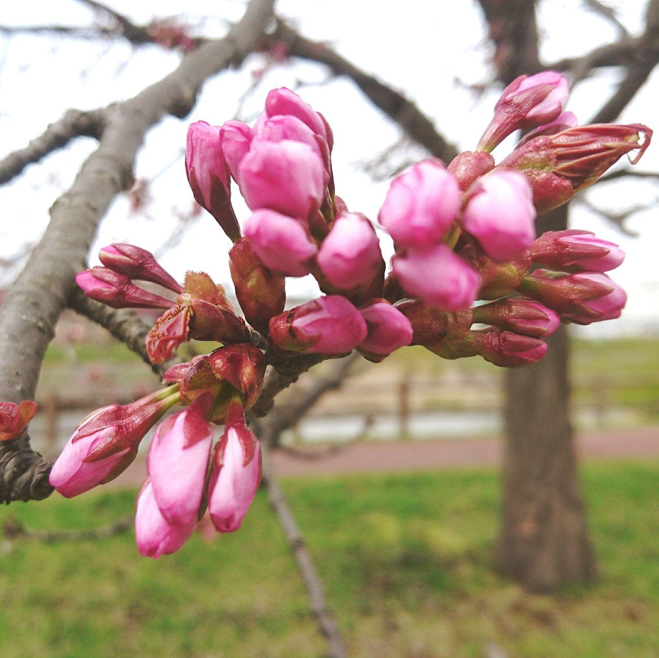 いつもの場所から 千歳市にて 加工あり 実家近く 桜の木 風が冷たい 今日あたり咲くかなぁ~🌸🌸🌸