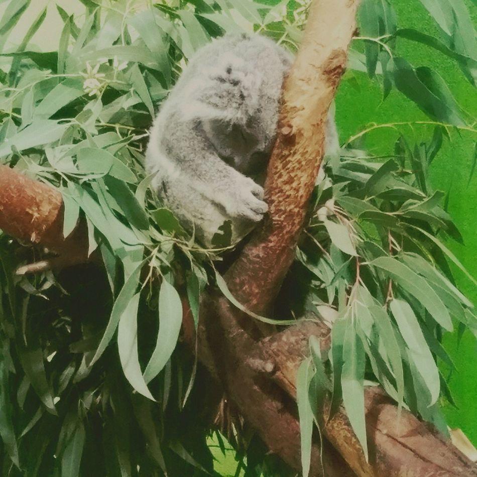 Koala Koala In Tree Koala Sleeping Cuddly Sleepy Tree Zoo Eucalyptus Cozy Place Cozy Rest Rest & Relax Koala Bear Koala 🐨 One Animal No People Nature Close-up Tree Green Color Animal Themes Mammal Leaf