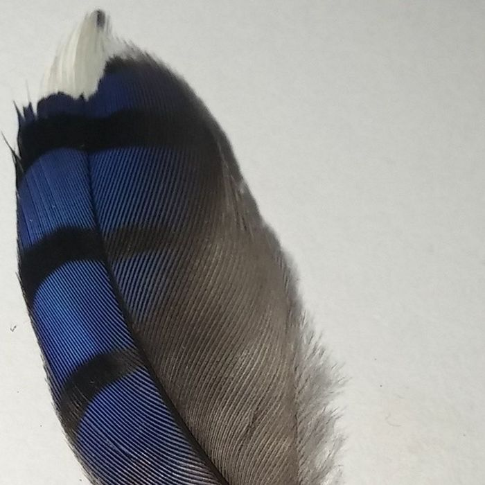 Beautiful little bluejay feather i found this am Bluejays Blue Feather  Birds
