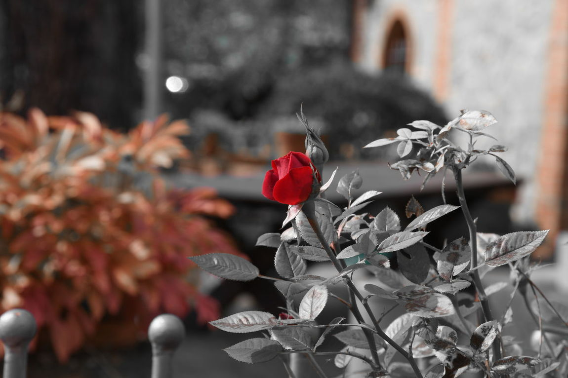EyeEmNewHere EyeEm Selects Wedding Photography Wedding Colours Colors Of Autumn Red Flower Celebration Tuscany Italia Playingwithcolours Black And White Selected Colour Connected By Travel Outdoors
