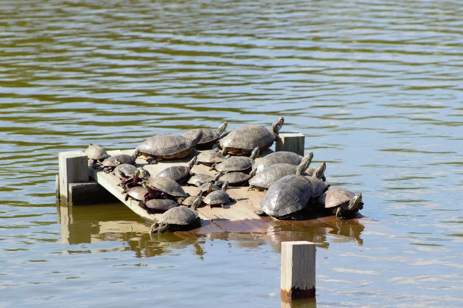 Turtles Animal Photography Animal Themes Animals Animals In The Wild Beauty In Nature Croweded Day Nature No People Outdoors Refuge Reptiles Rippled Tranquility Turtles Water Wildlife Wood - Material Wooden Post