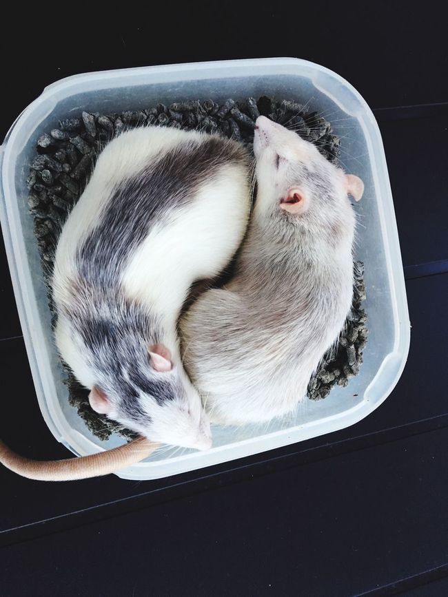 yin yang Animal Cute Rat Rats Sueño Rim Dormir Avy Avy And Rim Loverats Loverat Love