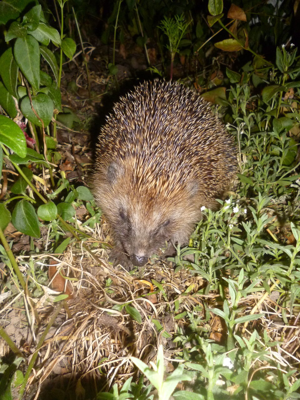one animal, animals in the wild, hedgehog, animal wildlife, animal themes, nature, mammal, no people, outdoors, plant, day, grass, close-up