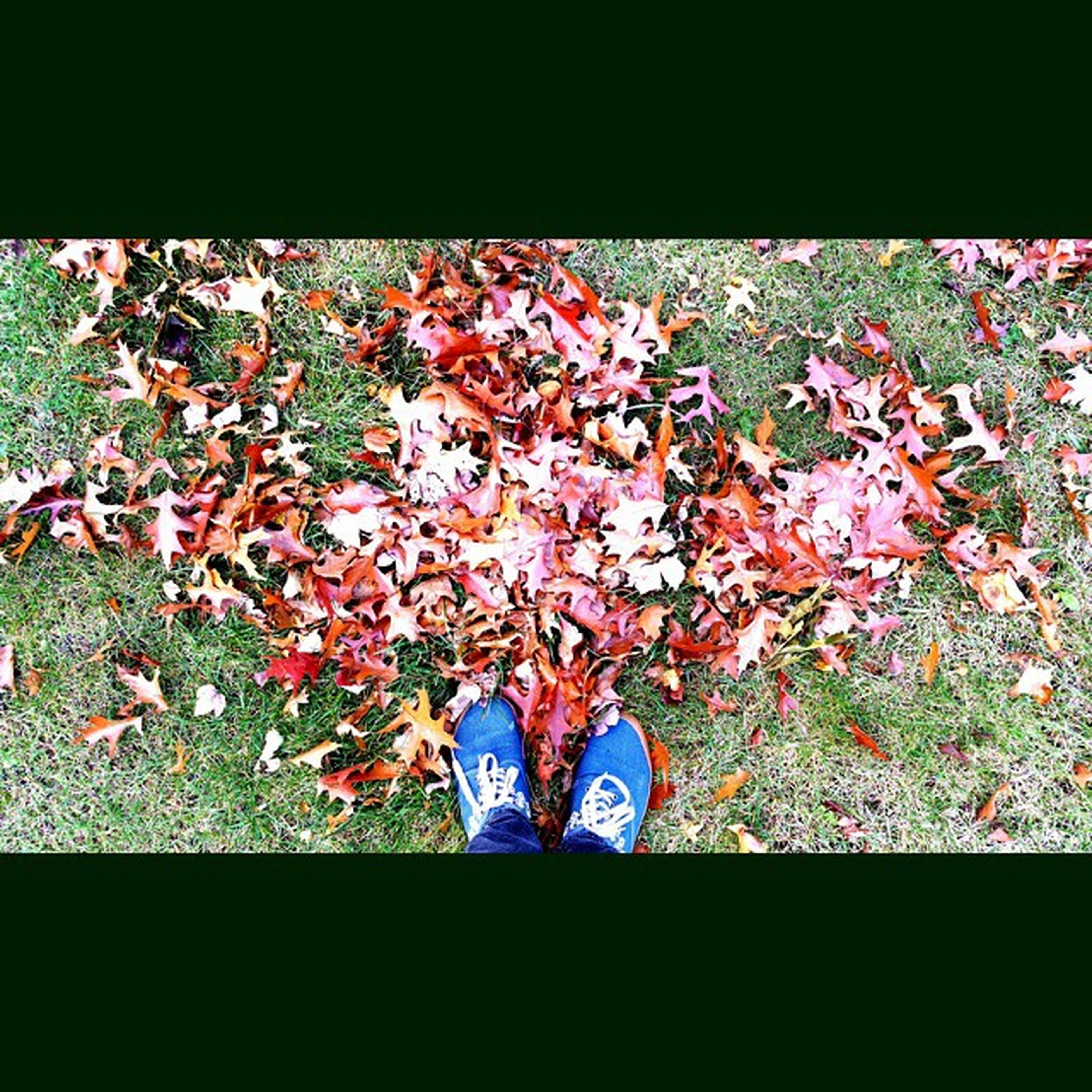 Why the fuck am i standing over the pile of leaves looking like an idiot you say !! Because instagram ... yeah and well it looked nice and thought i might get instafamous . Sigh !! Leaves Takingpictures Hashtags Needanewdistraction instagramisgettingboringentertainmebitch