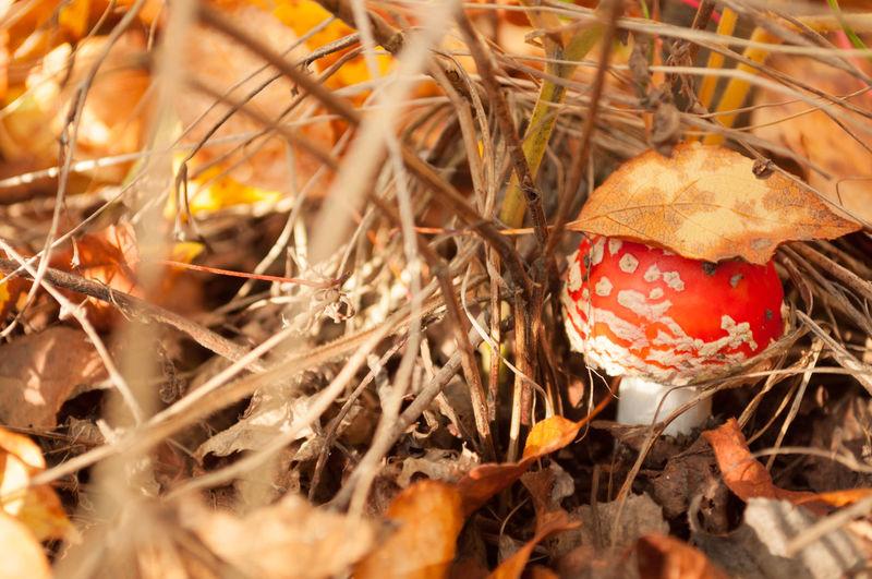 Agriculture Autumn Autumn Colors Autumn Forest Autumn Grass Autumn Leafs Autumn Leaves Close-up Fly Agaric Mushroom Leaf On Head Macro Photography Mushroom Nature Red