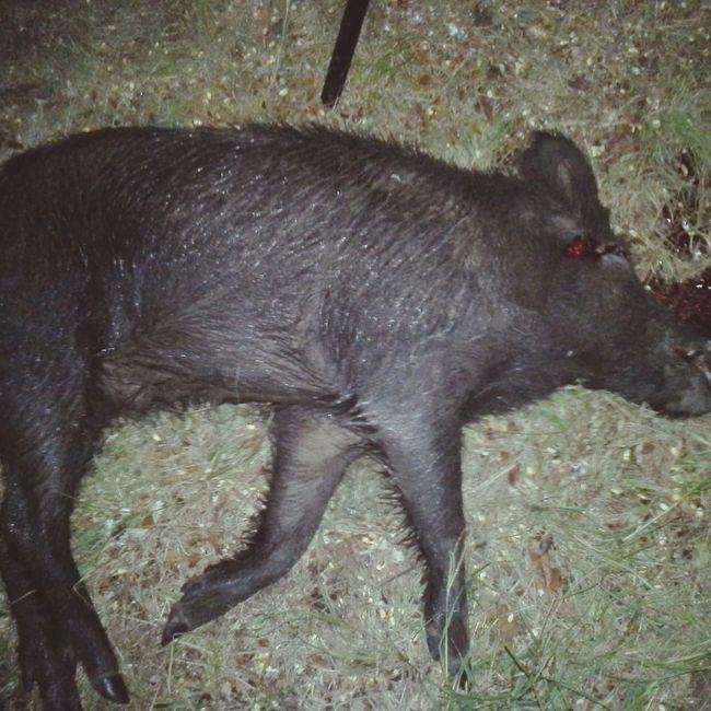 Wild Savage Texas Somerville Bacon! HOG Ruger 243