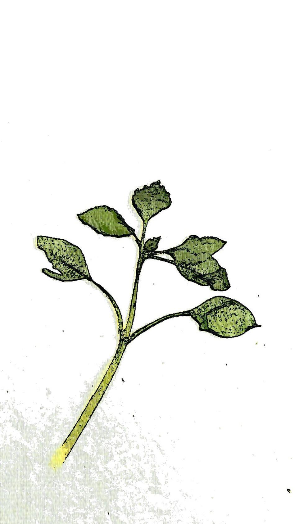 Experimental Edit Pressed Leaves Gepresste Blätter Minimalism White Album
