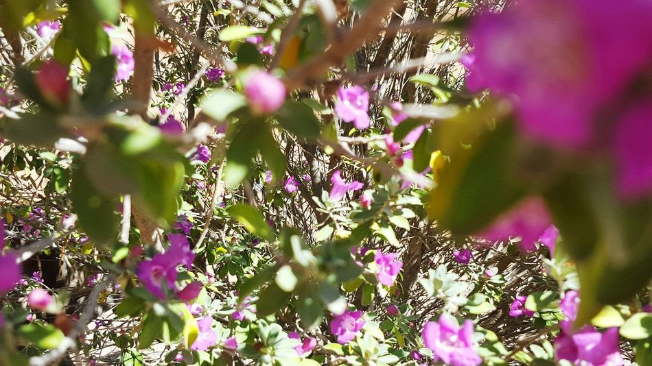 Hello World Prettylantana MyBackGarden AGirlLikeMe Hastohaveflowers Makesmesmile EyeEm Nature Lover