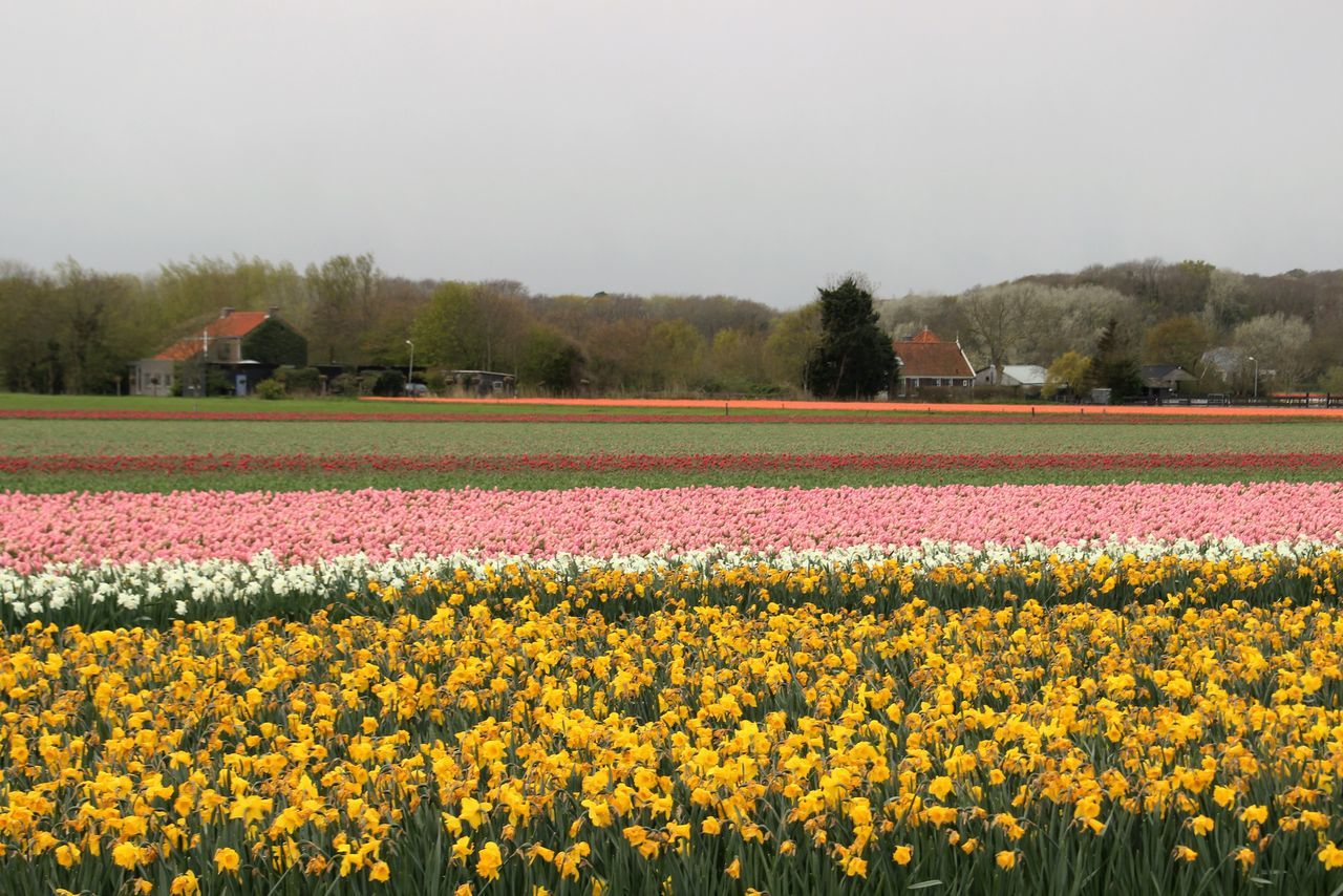 Agriculture Beauty In Nature Crop  Day Dutch Landscape Farm Field Flower Flowers Fragility Freshness Growth Horizontal Landscaped Nature No People Outdoors Plant Rural Scene Scenics Sky Spring Springtime Tree Tullips