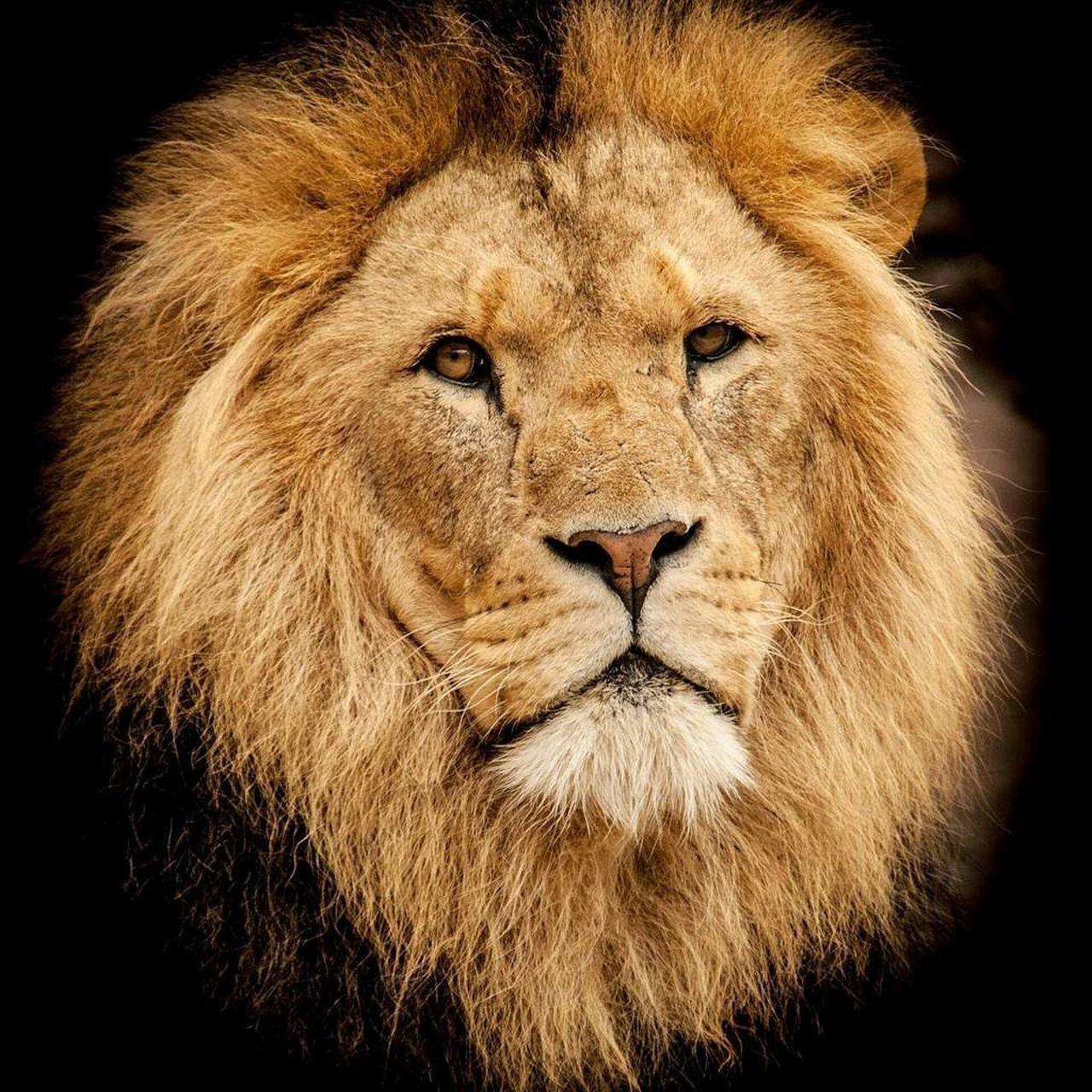 lion - feline, one animal, animal head, black background, animals in the wild, portrait, animal wildlife, no people, animal themes, close-up, feline, night, mammal, safari animals, outdoors