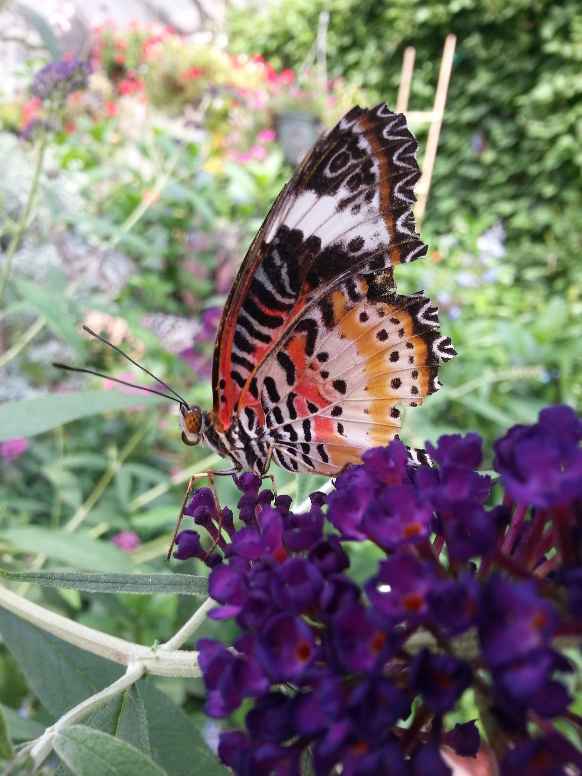 Animal Themes Butterfly Close-up Common Lace Wing Day Flower Focus On Foreground Fragility Freshness Insect Jagged Edge Leaf Nature New Life No People One Animal Orange Color Pink Purple Purple Flower Selective Focus Side View Springtime Stripes Pattern Wing