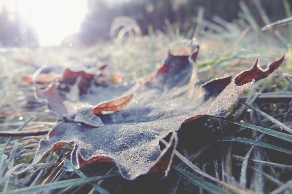 ʄཞơʂɬყ II Leaf Sunlight Close-up No People Day Outdoors Leaves Autumn Nature Macro Frost Ice Winter Wintertime Melancholic Landscapes Melancholy Tadaa Community Tadaa Ground Shootermag Nature Photography Nature_collection Low Angle View P510 Freshness