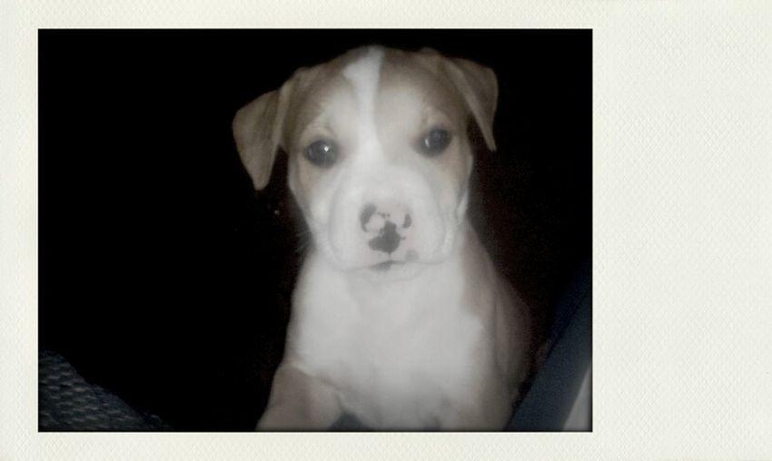 Puppy My Pitbull Banjo Cute Ass Pup