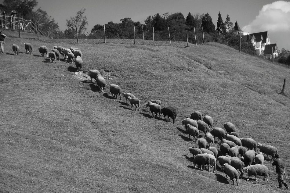 Animal Sheep Grassland Nature Outdoors Day Animal Themes Tree Sky Mountain Range Scenics Shepherd Village Life Monochrome Black And White Taiwan The View And The Spirit Of Taiwan 台灣景