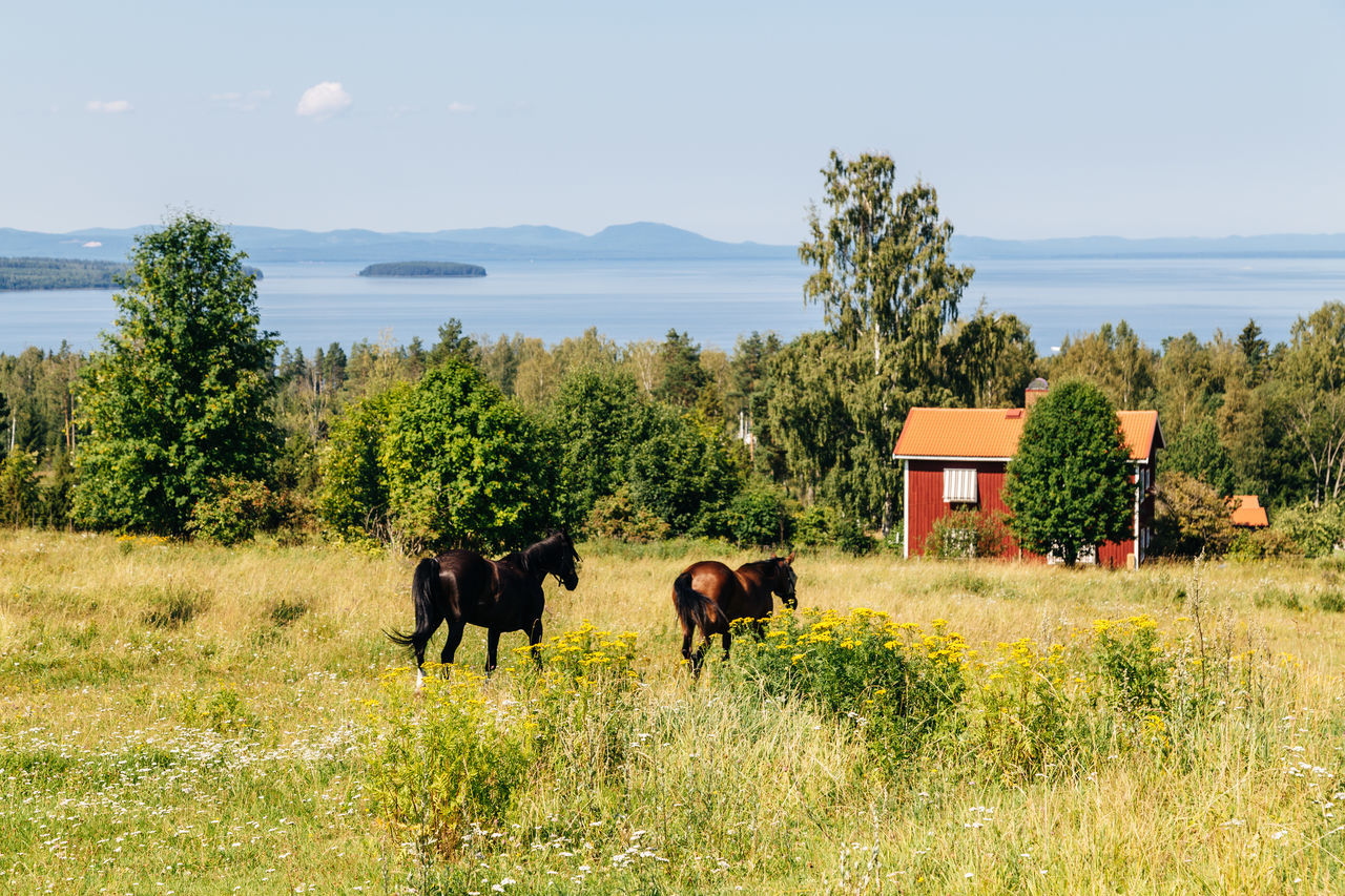 Horses in field, Tallberg, Sweden Animal Themes Dalarna Day Grass Horses Lake Mammal Mountain Nature No People Outdoors Siljan Sky Summer Sweden Swedish Swedish Nature Tree Tällberg