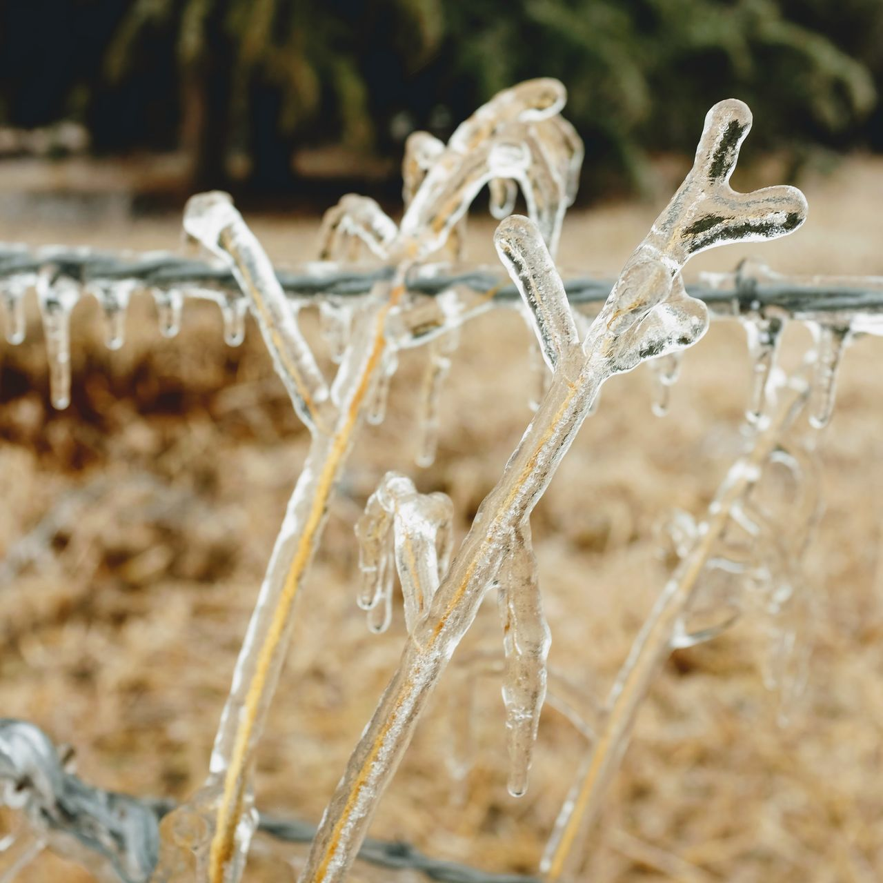 """Visual Journal January 16, 2017 Western, Nebraska - 15 and 16 January 2017 Ice Storm - Over the course of 15 and 16 January 2017, an upper-level storm system tracked from northwest Mexico into the central Plains. A seasonably moist low-level air mass present ahead of the upper-air disturbance surged north through the Great Plains, atop a sub-freezing, near-surface layer of air. The net result was a widespread ice storm which affected locations from the southern High Plains into the mid Missouri River Valley. This winter storm was unusual from the perspective that the predominant precipitation type was freezing rain with little in the way of observed snowfall. Over eastern Nebraska and southwest Iowa, ice accumulations ranged from 0.50-0.75"""" across southeast Nebraska to 0.10-0.20"""" in the Omaha Metro area. Camera Work Close-up Cold Temperature Day Extreme Weather EyeEm Best Shots EyeEm Masterclass Frozen Ice Storm Ice Storm 2017 Icicles Icy Day MidWest My Neighborhood No People Outdoors Photo Diary Photo Essay Plant Rural America Shootermag_usa Small Town Stories Storytelling Visual Journal Wintertime"""