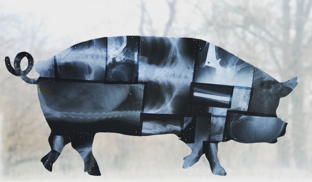 Pork X/Ray Animal Themes Nature Domestic Animals Cold Temperature Mammal Snow No People Day Outdoors Sky