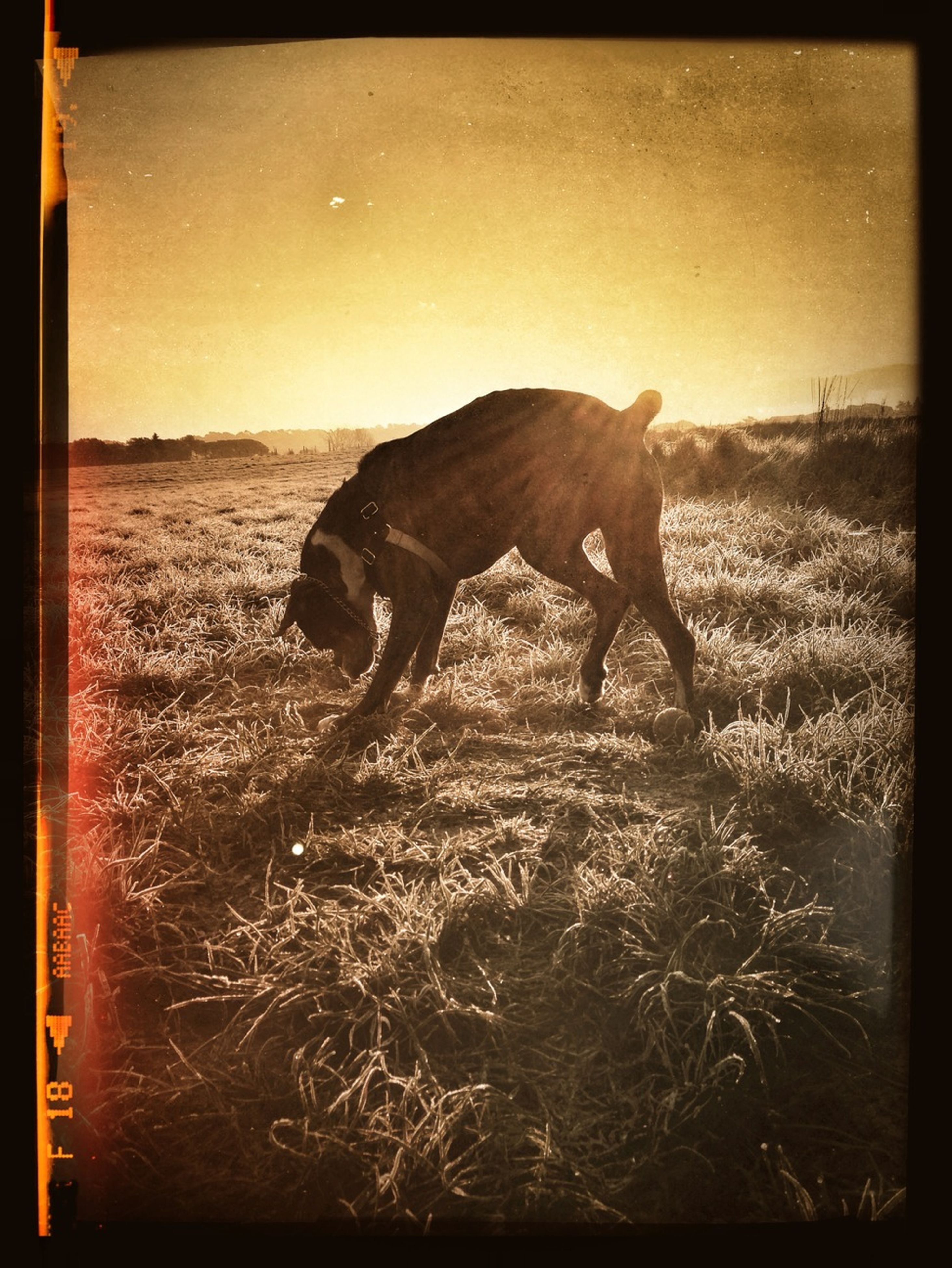 animal themes, one animal, transfer print, sunset, auto post production filter, animals in the wild, wildlife, mammal, field, domestic animals, grass, nature, sunlight, side view, full length, sky, landscape, standing, zoology, bird