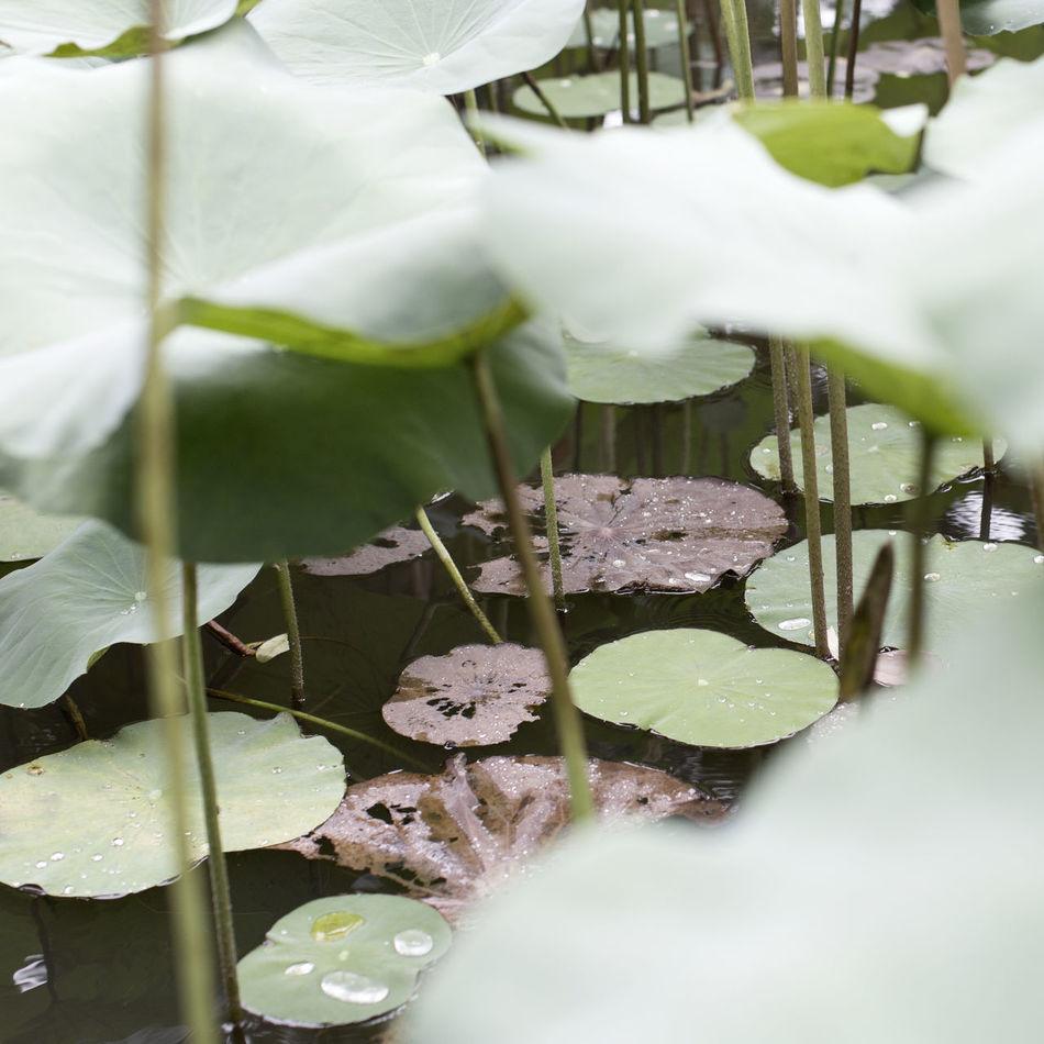 Lush greens. Taking Photos Lush Waterlily Green Hanging Out