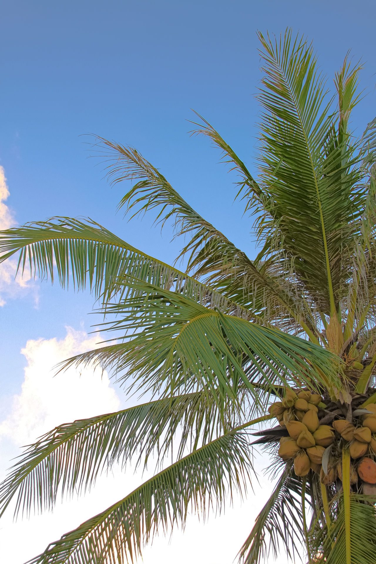 An image of nice palm trees in the blue sunny sky 43 Golden Moments America Beauty In Nature Blue Sky Day Getty Getty Images Getty X EyeEm Green Color Guam Nature No People Outdoors Palm Tree Sky Stockphoto Stockphotography The OO Mission Tree USA