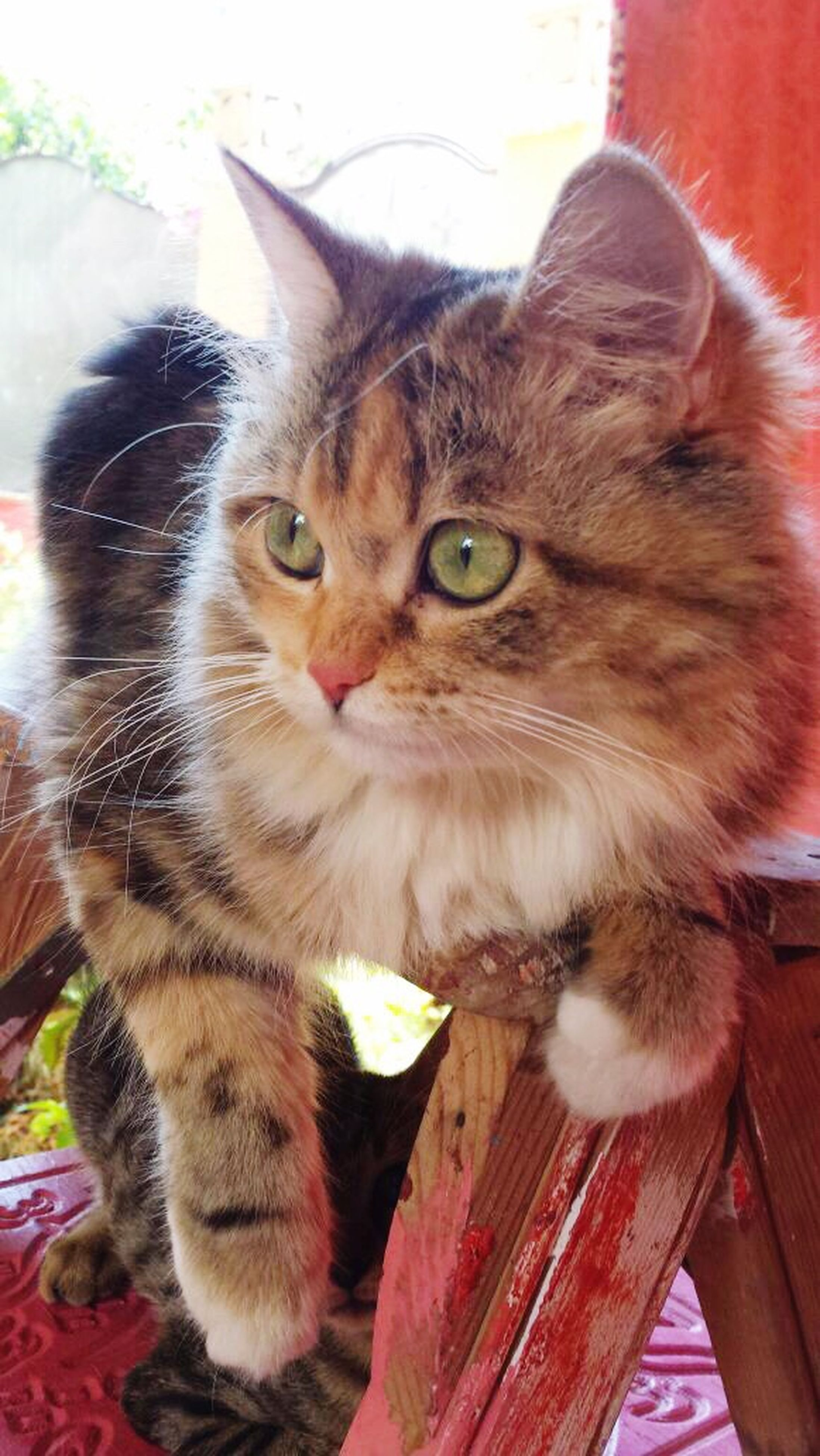 domestic cat, domestic animals, pets, mammal, animal themes, feline, one animal, looking at camera, whisker, portrait, no people, close-up, day, indoors