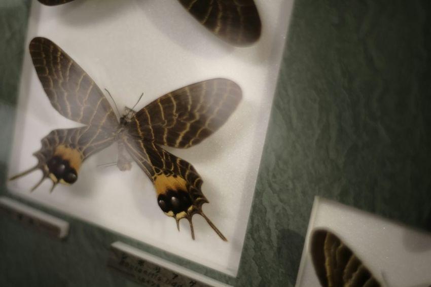 Fallen jewels Jewels Fallen Insect Photography Insect Specimens Insects  Insect Specimen Specimens Butterfly Collection Butterflyporn Voigtlnder Voightlander Nokton Classic 40mm/F1.4 SC X-Pro1 Fujifilm X-Pro1 Butterfly Japan
