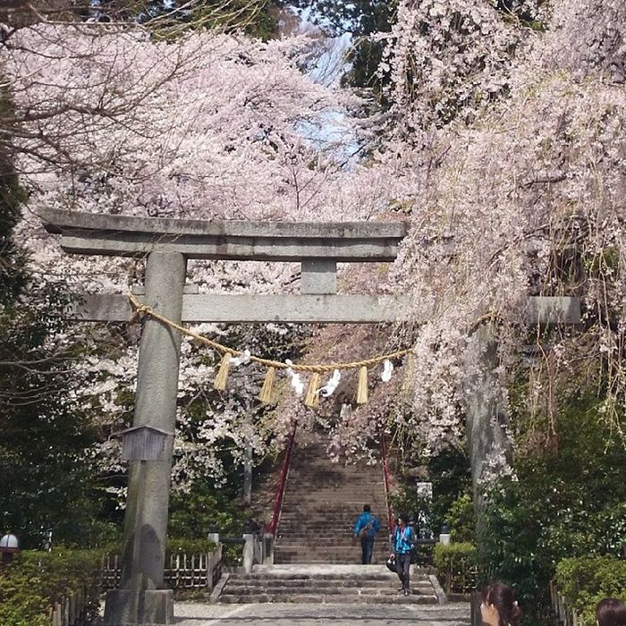 仕事で仙台赴任してきました~! 家の近所に伊達政宗が造成した大崎八幡宮があり、めっちゃきれいでした。。 大崎八幡宮 桜 Sendai Cherryblossoms Japan 樱花 寺庙