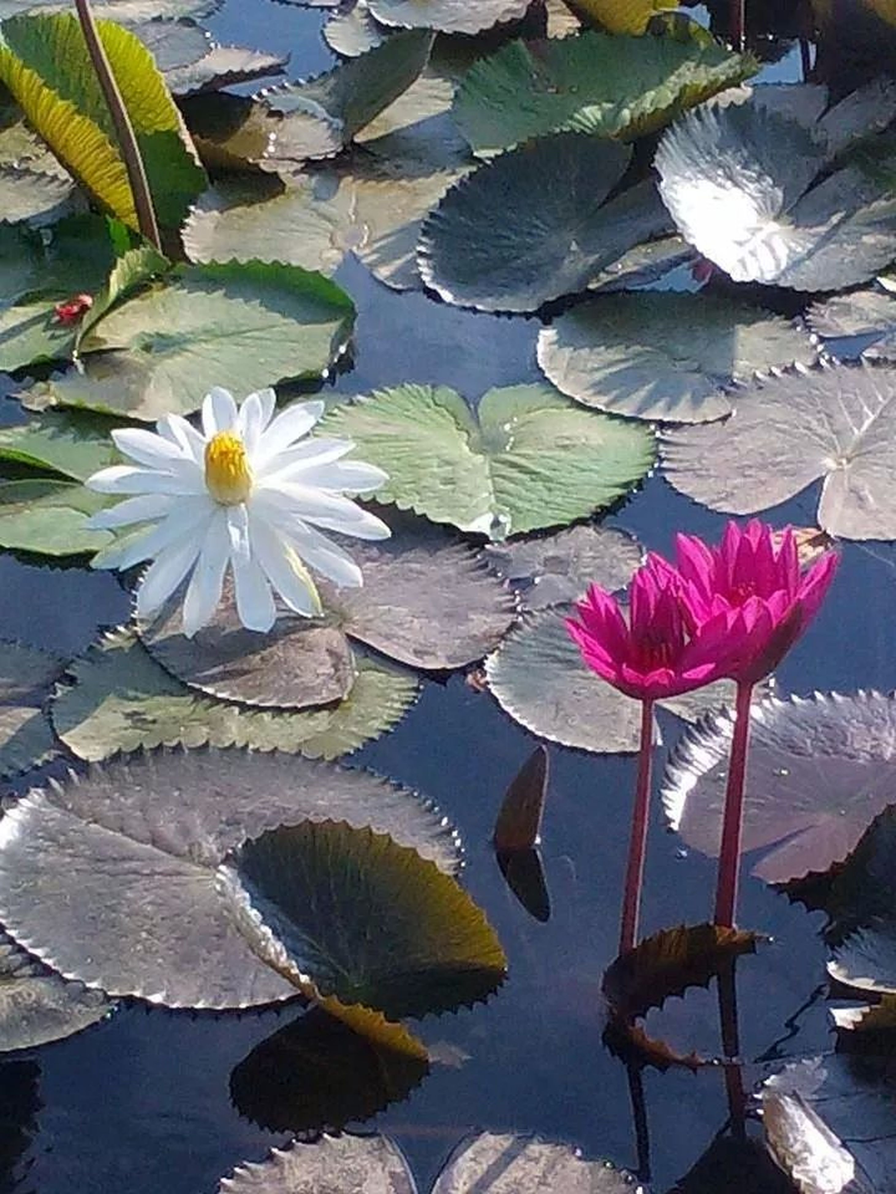 water lily, flower, petal, leaf, pond, lotus water lily, water, floating on water, fragility, freshness, flower head, beauty in nature, high angle view, nature, growth, lake, plant, reflection, lily pad, blooming