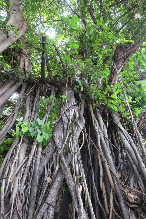 Beauty In Nature Big Tree Bodhitree Branch Day Forest Green Color Growth Leaf Low Angle View Nature No People Outdoors Root Roots Of Tree Tranquility Tree Tree Trunk Perspectives On Nature