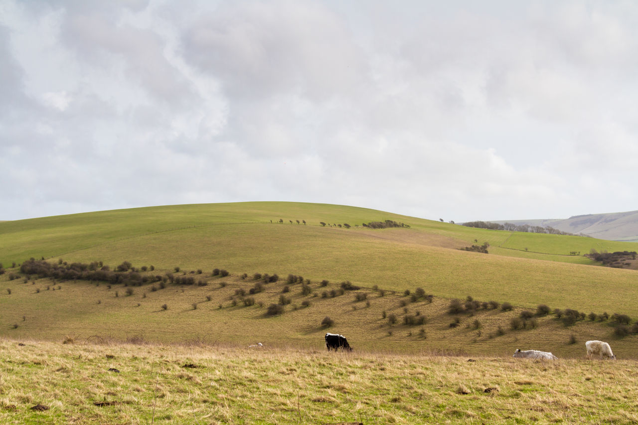 Grazing Cattle Agriculture Beauty In Nature Cattle Countryside Day Grass Grazing Cattle Hills Horizontal Landscape Lewes Mount Caburn Nature No People Outdoors Pasture Rolling Hills Scenics Sky