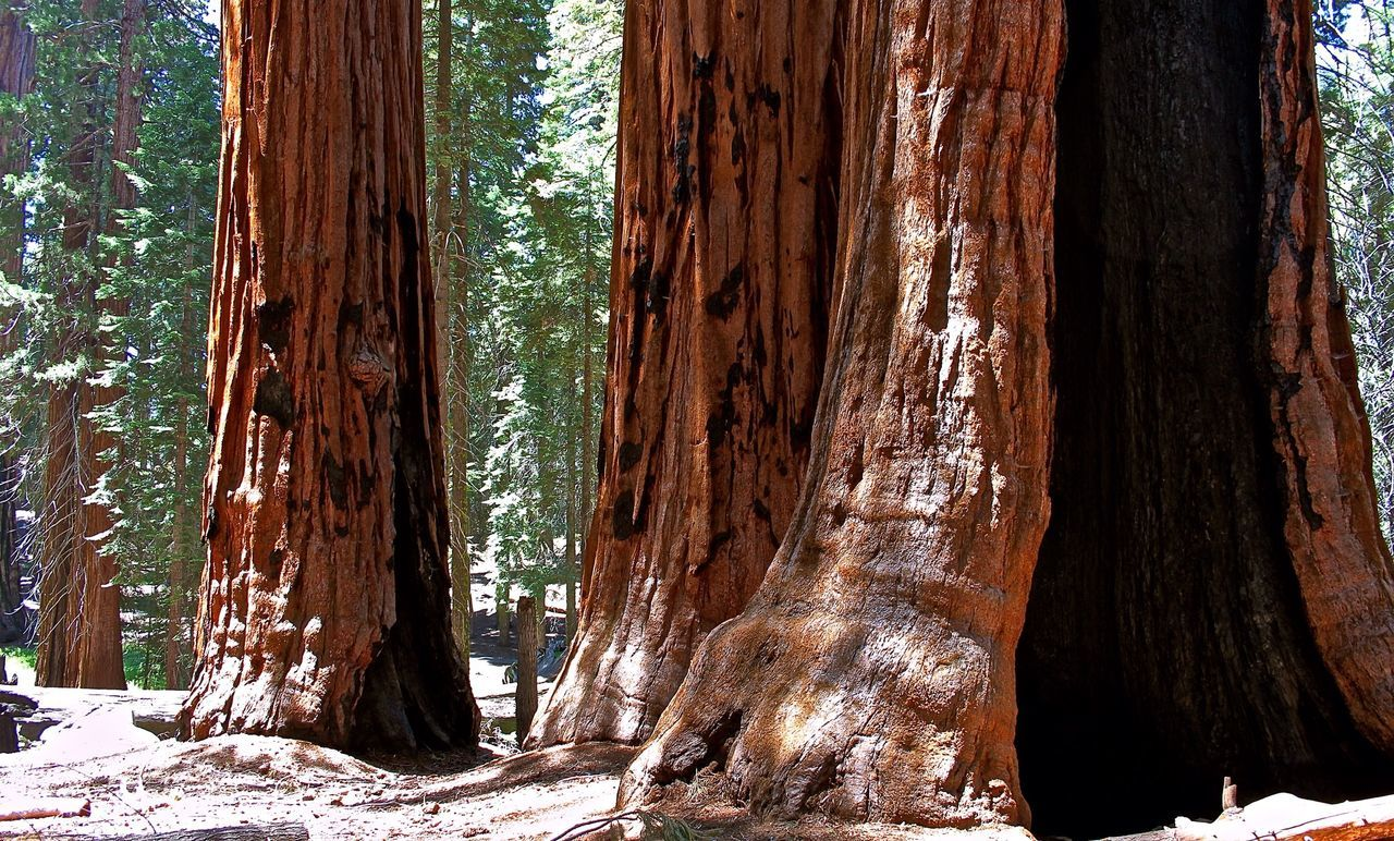 Giant Sequoias - National Park Traveling Bäume Redwood Trees Redwood California Redwoods Redwoods Trees California Giant Sequoia Nature