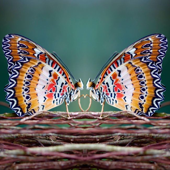 Butterfly - Insect Butterfly Insect Insect Photography Multi Colored Ig_nature Nature Nature_collection Naturelovers Nature Photography Natural Beauty Nature_perfection Papillon Macro Macro_collection Macro Photography Macro Beauty Macro Nature Macrophotography Macro Insects Colors