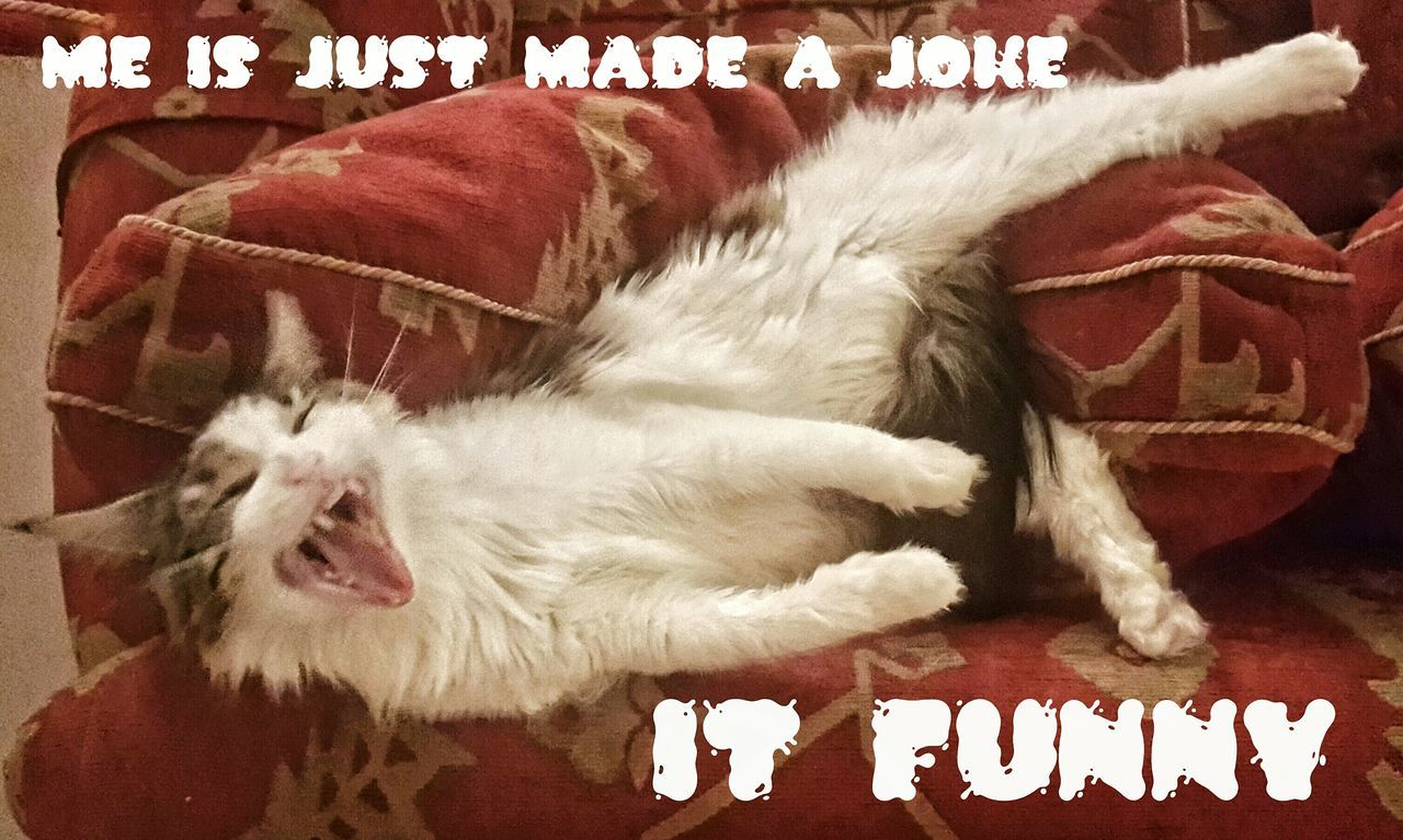 Just for Fun and Happy New Year 2016 from Floppy Cat. It was a cracker 😂 Joke Joker Funny FUNNY ANIMALS Cats Lazy Lazy Day Laughing Laugh Laughter Kitty Mainecoon Kitten Lounging Lounging Around Lounge Cracksmeup Jokes The Joker Joke Of The Day Cracking Up Cat Lovers