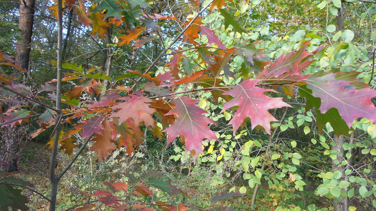 leaf, nature, autumn, growth, beauty in nature, change, tranquility, no people, plant, outdoors, maple leaf, day, fragility, tree, maple, scenics, close-up, freshness