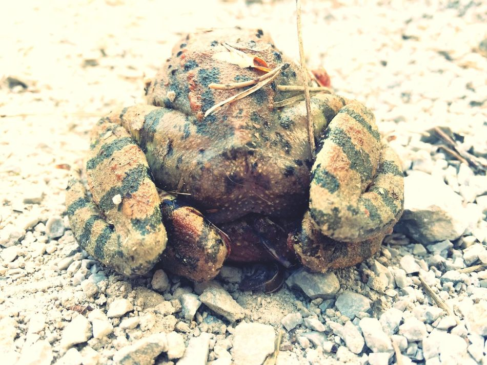 Frogs Brown Frog Two Frogs Animals In The Wild Zoology Close-up No People Outdoors Nature From Behind Frog Legs Have To Look Twice