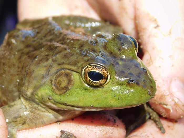 Ampibian Animal Wildlife Animals In The Wild Beauty In Nature Close-up Frog Frog In Hand Green Kansas Nature No People One Animal