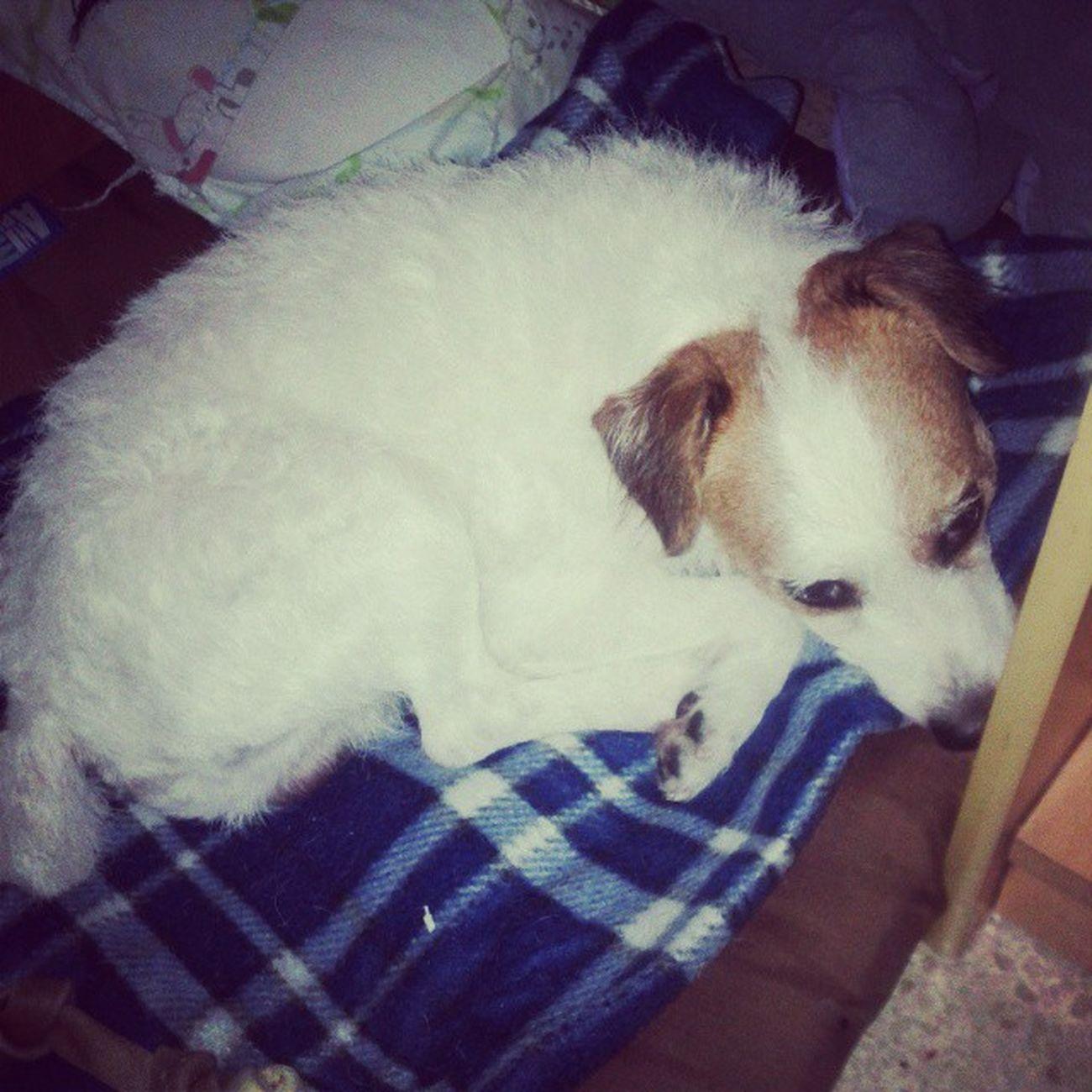 My babt boo is ready for sleep Ozzyosbourne Instadog Insta_dog Jackrussell jackrussellterrier doglover dogs