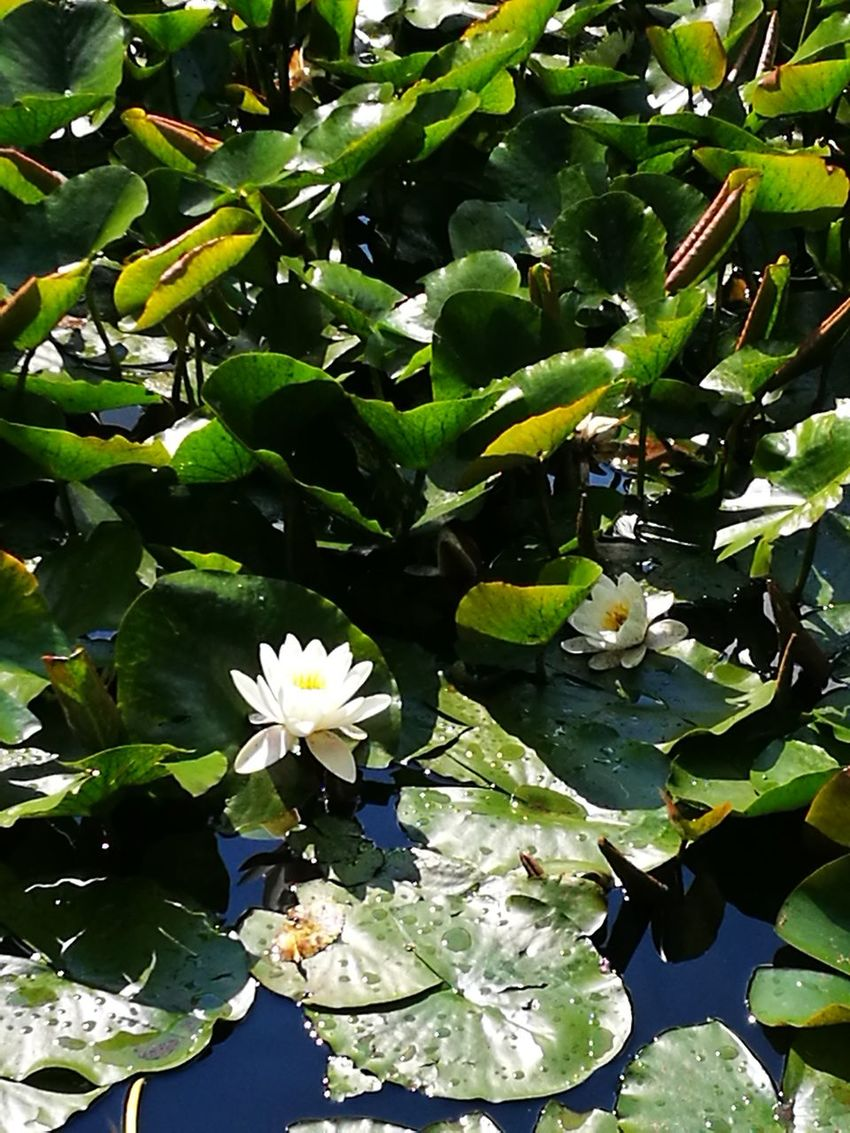 Leaf Growth Freshness Nature Flower Beauty In Nature Plant Green Color No People Water Flower Head