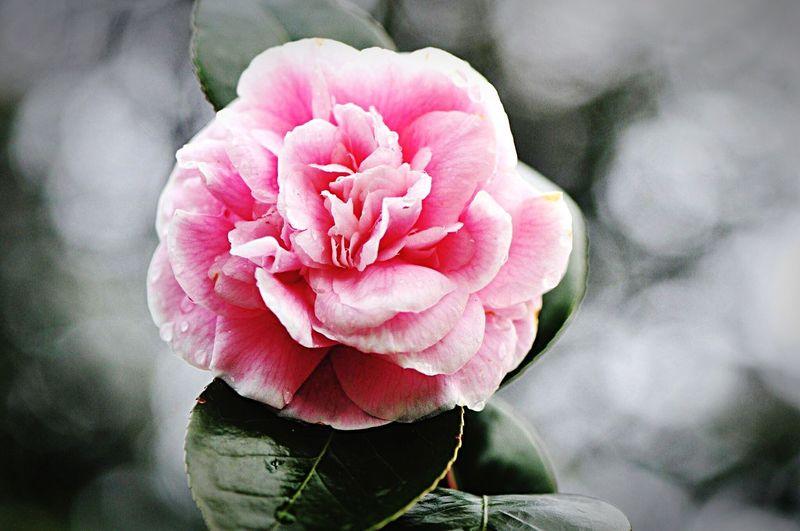 Camellia Flower Camellia Pink Flower Flora Fauna Fauna Nature Nature_collection Garden & Nature Plant Wintertime