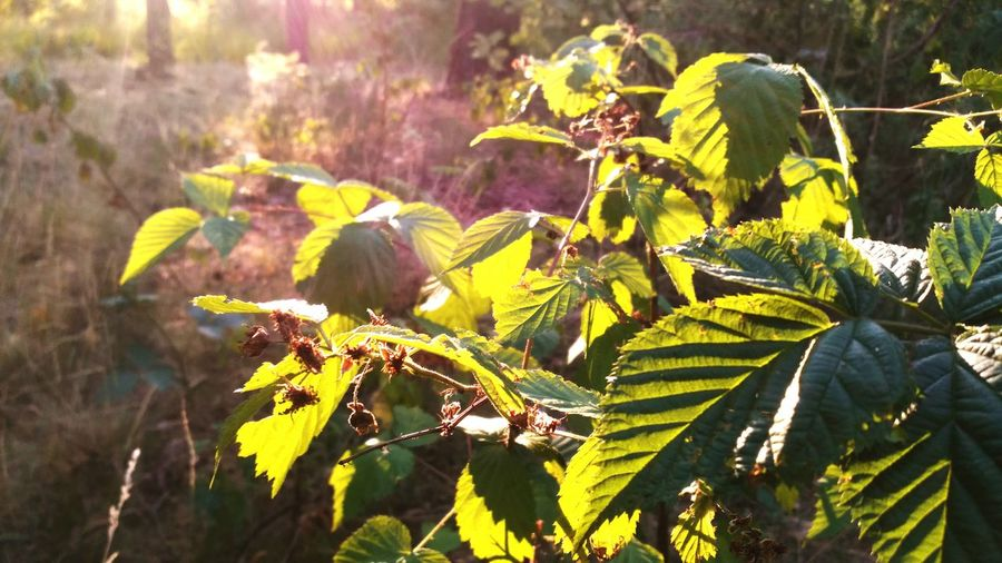 Walking Around Evening Summertime Leaves Strawberry Forest Eye4photography  Creative Light And Shadow