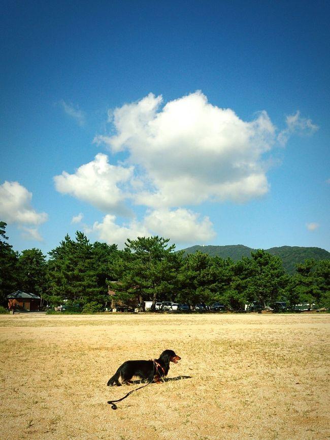 Doxie Dachshundarium ダックス Dachshund Dog Love 青空 Sky