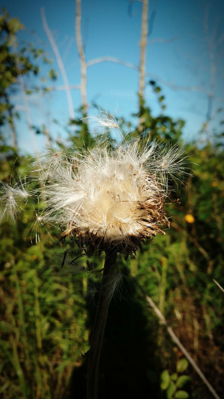 fragility, nature, growth, flower, dandelion, softness, focus on foreground, beauty in nature, plant, close-up, no people, day, uncultivated, freshness, outdoors, flower head, seed, sky