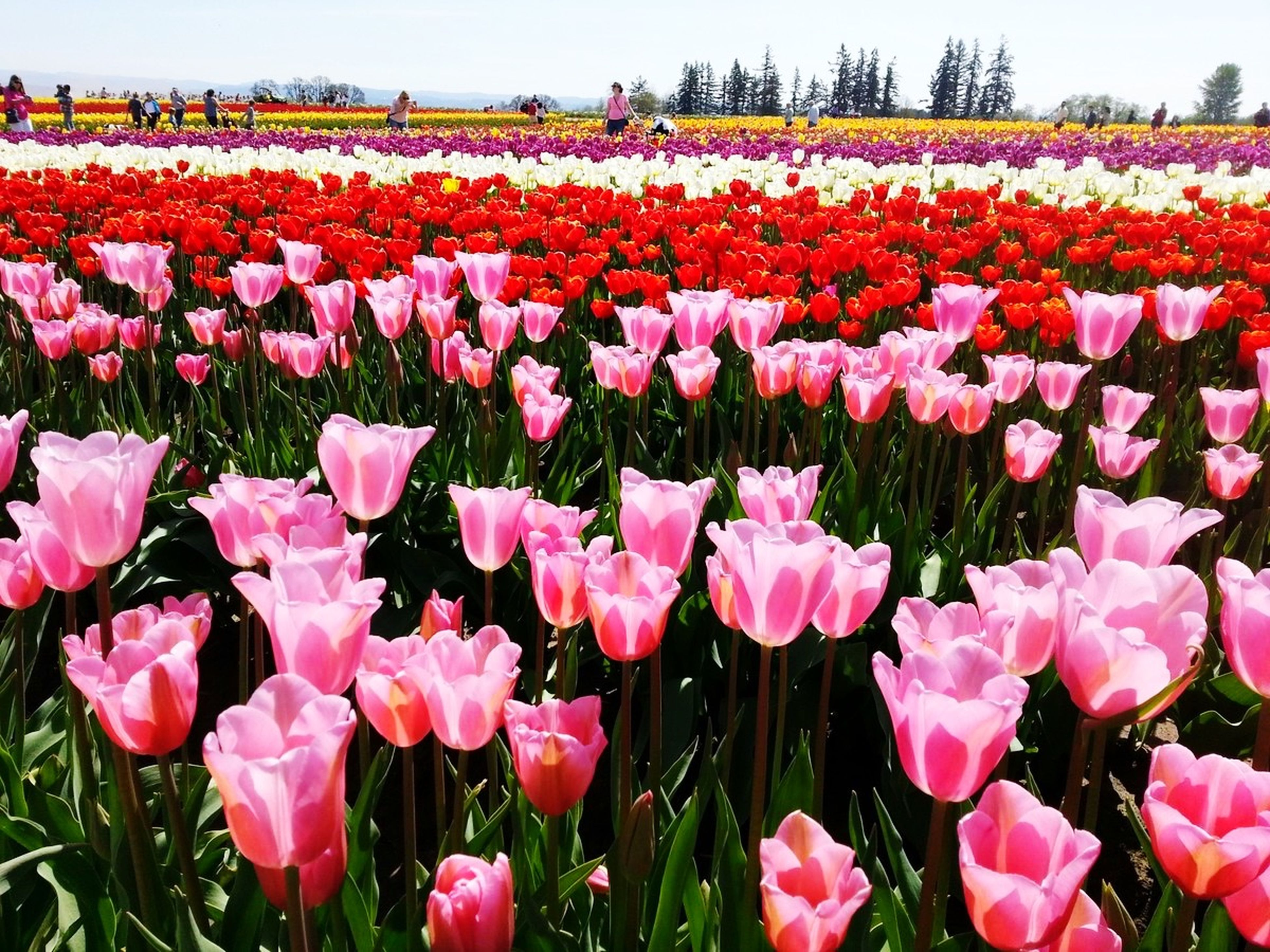 flower, freshness, abundance, tulip, beauty in nature, fragility, growth, field, flowerbed, nature, petal, blooming, red, plant, multi colored, flower head, pink color, landscape, blossom, in bloom