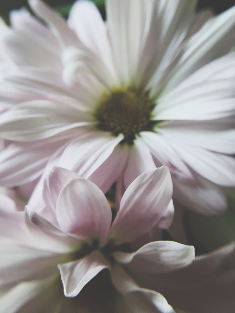 Flower Petal Fragility Flower Head Beauty In Nature Nature Growth Freshness Blooming Plant No People Close-up Pollen Day Outdoors Osteospermum Daisy Soft Focus Macro Bouquet Springtime