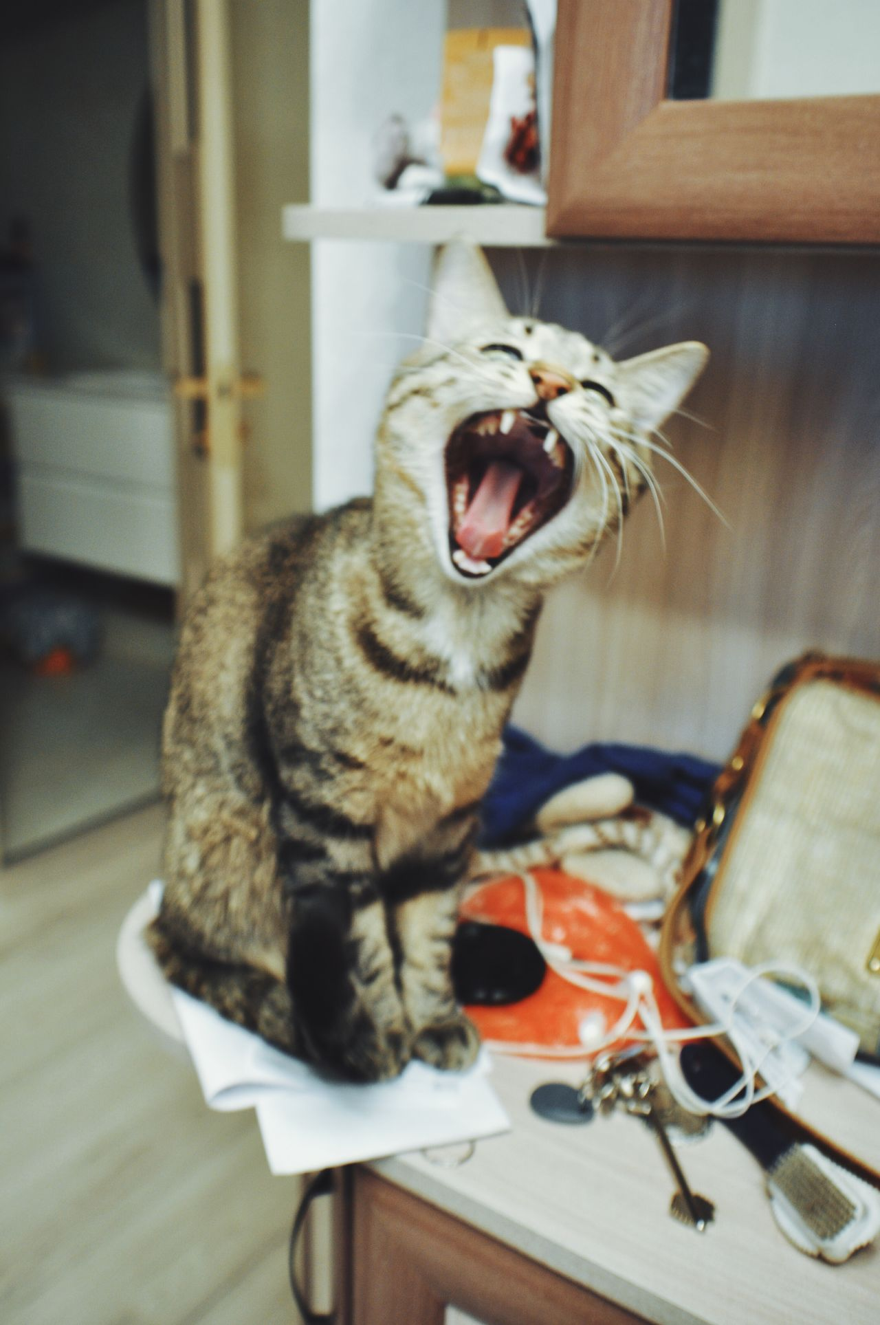 Animal Animal Themes Close-up Day Domestic Animals Domestic Cat Feline Indoors  Mammal Meow Mouth Open No People One Animal Pets Shouting The Week Of Eyeem Yawning